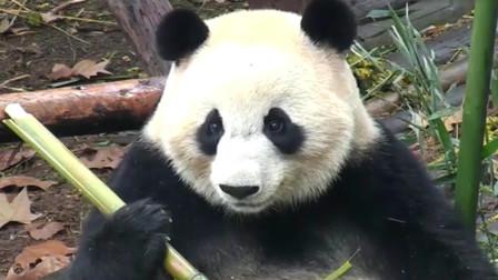 熊猫:来自吃货的反思,如此真实