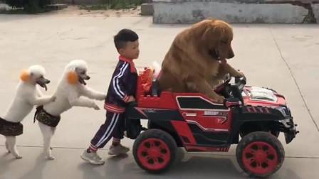 金毛开车带着小主人和几只泰迪玩,结局是亮点,都忍住别笑