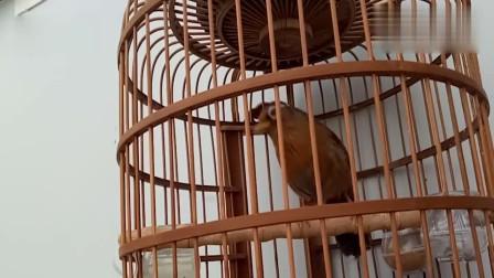 上性画眉鸟的叫声,悠扬清脆,听着很舒服