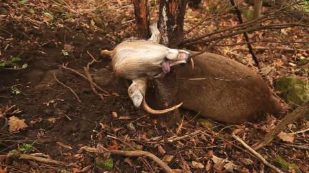 男子野外发现一头鹿,正想出手相救,结果走近一看不对劲