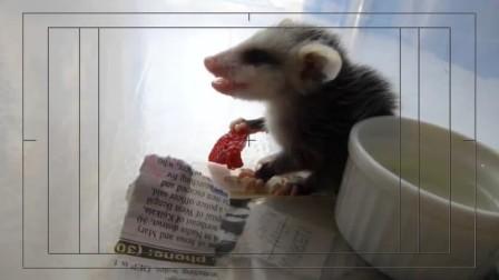 发现一只可爱的吃货老鼠,但它却让很多人着迷!