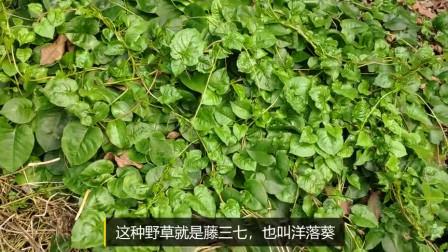 1种植物在农村是猪草,殊不知是美食,比木耳菜还味美!