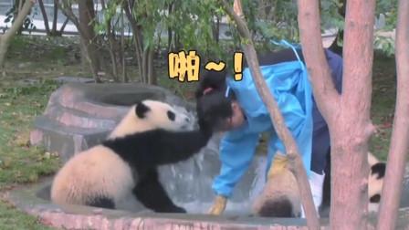 熊猫宝宝也学会动手打人了,可人家是国宝能咋办呢