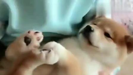 把小柴犬抱在怀里哄它睡觉, 跟孩子没啥区别