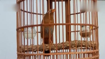 画眉鸟精品叫声,就算独处的时候,也不忘高声大唱