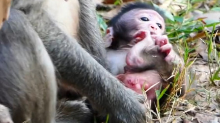 母爱:刚出生不久的猴宝宝,猴妈对它很好