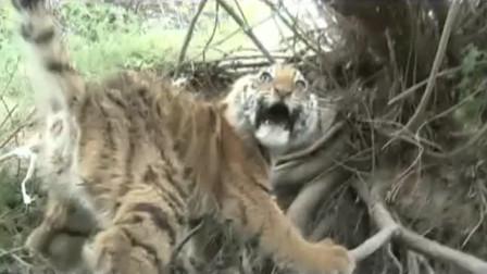 老虎被困,男子徒手解救,一手抓住老虎的尾巴,结果会怎样呢?