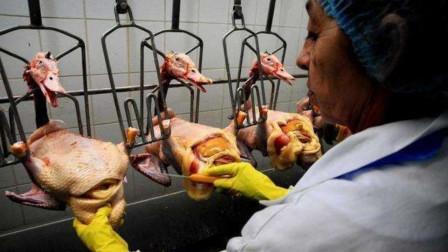 世界上最贵的美食鹅肝,生产过程却极其残忍,了解后你还敢吃吗?