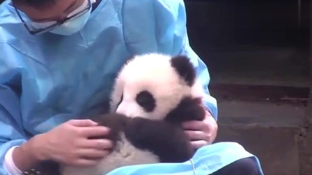 熊猫:小团子和奶爸超有爱的互动日常,宝宝在奶爸怀里超级乖,太可爱了