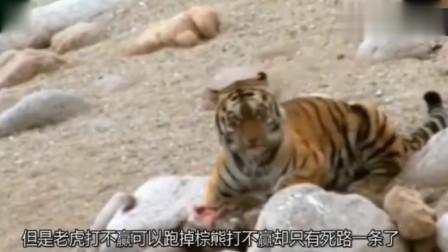 老虎大战棕熊,狂暴棕熊直接一巴掌拍死成年老虎!镜头拍下全过程