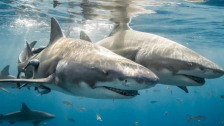 鲨鱼为什么不攻击海豚,鲨鱼:不是我不想,而是我不敢