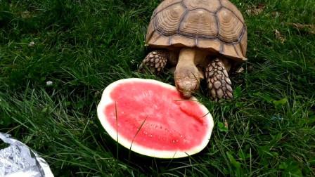 小乌龟吃西瓜,你们有没有见过呢,快进来看一下吧