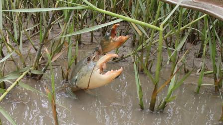来养殖场附近抓大青蟹,养殖老板指点方向,小伙草丛中遇到猛货