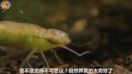 蜻蜓�a下的卵,竟是以蝌蚪�槭常�看完才知生物世界多奇妙
