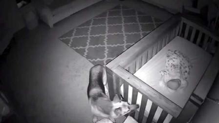 主人发现狗狗总是半夜去婴儿房,装上监控一看,被这一幕感动了