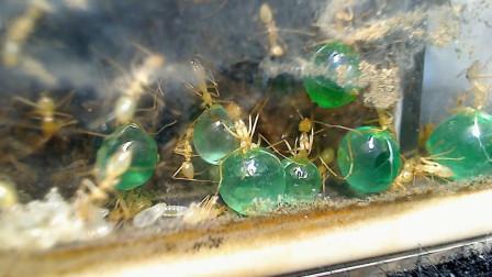 蚂蚁的肚子真的填不饱么?老外用果汁做了一个实验,答案让人震撼!