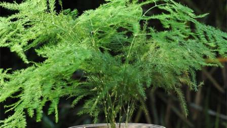 文竹怎么繁殖?根上剪一剪,一盆能变好几盆,长势郁郁葱葱