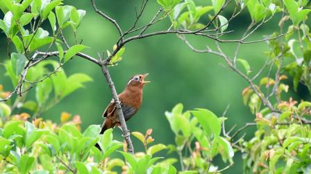 桂花树上的野生画眉鸟叫声,太好听了,也很漂亮哟