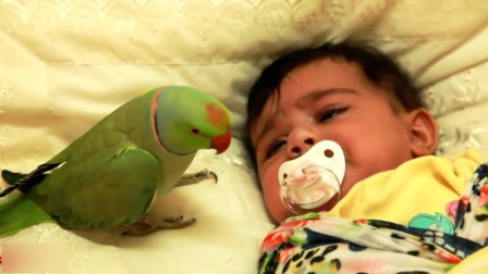 见过鹦鹉说话, 那你们见过鹦鹉帮主人哄孩子么?这鸟太厉害了