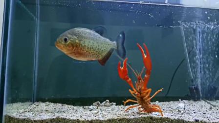 小伙将食人鱼饿10天,然后放进一只龙虾,不料意外发生了