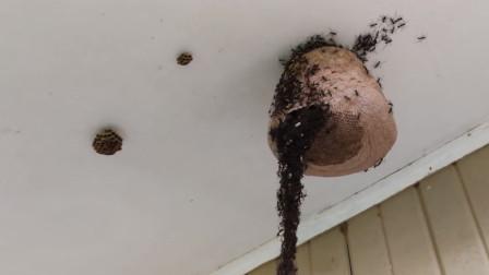 蚂蚁有多聪明?看完它们进攻马蜂窝就懂了,这一举动让人佩服!