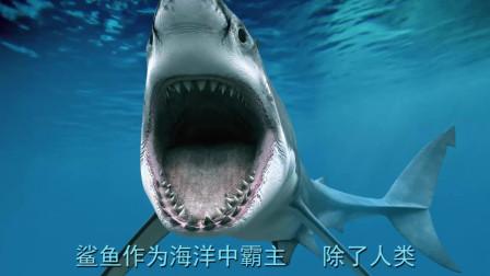 海中霸主的鲨鱼,居然被石斑鱼一口吃掉,镜头记录下全过程!