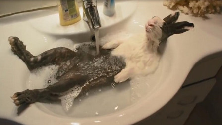 主人准备给兔子洗澡,中途出去接了个电话,一进来就看到搞笑一幕