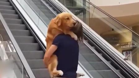 金毛犬不敢上电梯,主人一把抱起,金毛懵了!