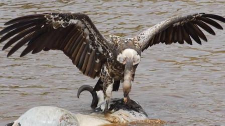 秃鹫享受美食感到不对,下一秒被鳄鱼直接吞掉,镜头拍下全过程