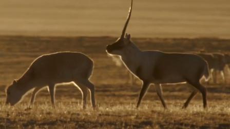 交配时间最长的动物 生活在最恶劣的环境,还是我国的濒危物种