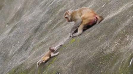 好残忍!母猴子直接把小猴从悬崖上推了下去,镜头记录全过程!
