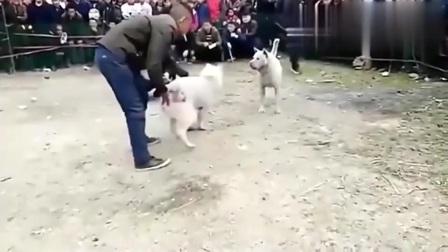 斗狗:斗狗比赛,土狗大战,两狗一上场就相互攻击,现场惨烈!
