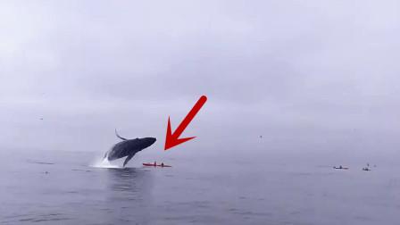 30吨的大鲸鱼从海上一跃而起,正好砸中皮划艇,镜头记录全过程