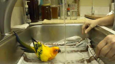 鹦鹉跳进水池自己洗澡,它主人见到这一幕都楞住了,网友:成精了