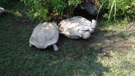 一只乌龟翻在地上,另一只乌龟路过,让人意外的画面出现了!