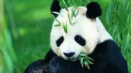超级可爱调皮的 国宝熊猫原来以是个吃货逼疯奶爸!