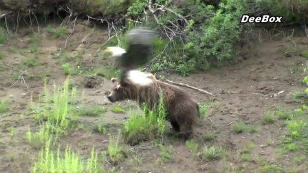 老鹰不仅吃兔子,还敢动灰熊,这货也太嚣张了