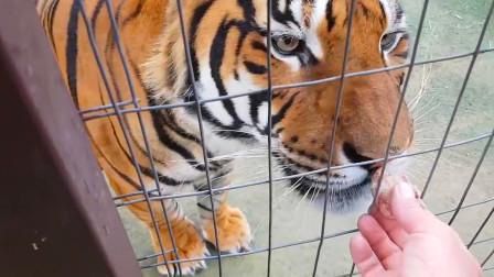 老虎一看到主人手上的零食,立马小跑过来,真是吃货