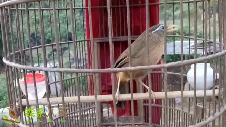 农村人养的画眉鸟,笼具虽差,鸟儿唱歌却很动听!