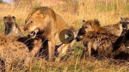 20只鬣狗围攻雄狮,雄狮本来已成美食了,没想到出现了另外一只雄狮!