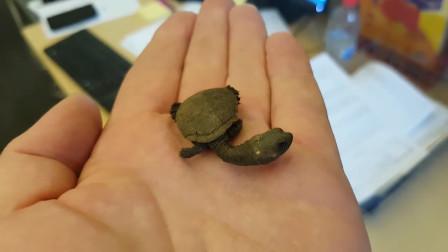 男子野外捡到一只小乌龟,养了一段时间后,突然发现不对劲
