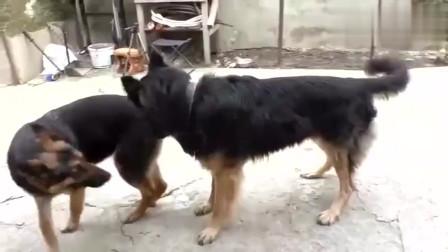 德牧求偶的过程,怎么着你也对母狗温柔点啊