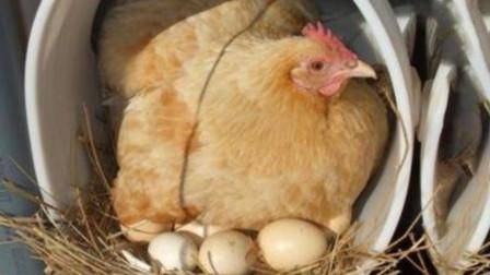 母鸡为何不需公鸡的辅助,每天都可以下蛋?科普给你听