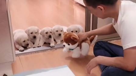 小狗狗在家乱尿,见主人揍乱尿的玩具狗后,接下来你们都忍住别笑