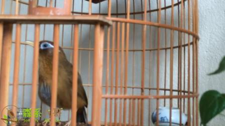 画眉鸟是天生的歌唱家,给人们带来美妙的歌声!