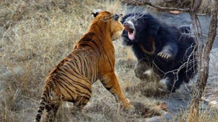 动物打架谁厉害?狮子豹子打架集锦,狮子秒杀猎豹,老虎大战黑熊