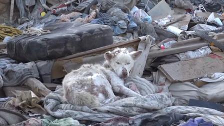 男子好心在垃圾堆救出濒死流浪狗,洗干净一看,竟是只纯白哈士奇