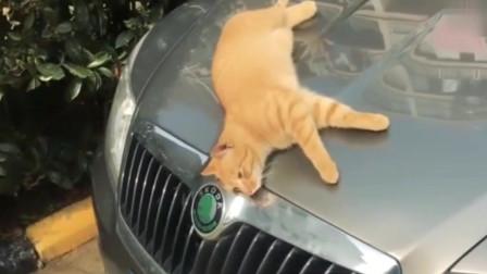 萌宠:猫咪在车引擎上晒太阳,谁知下一幕笑傻路人!