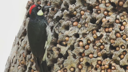 啄木鸟根本不是好鸟,看完之后才知道它们的真面目,我们被骗了好久