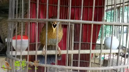 画眉鸟扇翅叫,十分兴奋,动听的歌声不停地唱出来